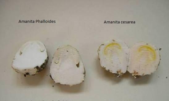 Huevos_de_reig_y_phaloides